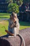 Ο πίθηκος τρώει κοντά στο ναό Angor Wat Στοκ Εικόνες