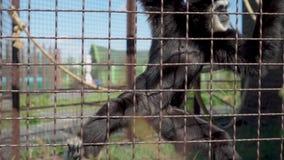 Ο πίθηκος τρώει στο ζωολογικό κήπο απόθεμα βίντεο