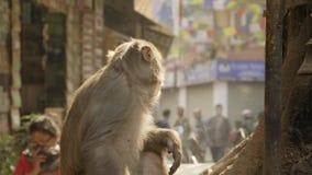 Ο πίθηκος τρώει την μπανάνα στην πόλη κοντά στο θρησκευτικό ναό Κατμαντού Νεπάλ φιλμ μικρού μήκους