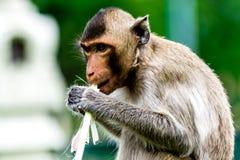 Ο πίθηκος τρώει τον κάλαμο ζάχαρης σε Pra Prang Sam Yod, Lopburi Ταϊλάνδη Στοκ φωτογραφία με δικαίωμα ελεύθερης χρήσης