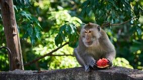 Ο πίθηκος τρώει το καρπούζι Koh Pangan Στοκ φωτογραφία με δικαίωμα ελεύθερης χρήσης