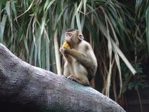 Ο πίθηκος τρώει Στοκ εικόνα με δικαίωμα ελεύθερης χρήσης