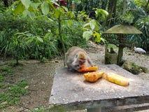 Ο πίθηκος τρώει Στοκ Φωτογραφία