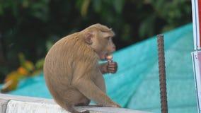 Ο πίθηκος τρώει lollipop απόθεμα βίντεο