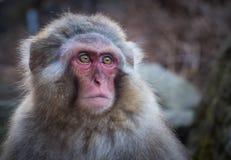Ο πίθηκος χιονιού ή ιαπωνικό Macaque την καυτή άνοιξη Στοκ Φωτογραφίες