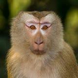 Ο πίθηκος Στοκ Εικόνες