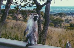 Ο πίθηκος Στοκ εικόνες με δικαίωμα ελεύθερης χρήσης
