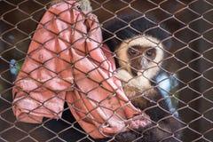 Ο πίθηκος gibbon στο κλουβί χάλυβα Στοκ Εικόνα