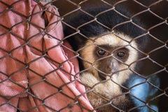 Ο πίθηκος gibbon στο κλουβί χάλυβα Στοκ Φωτογραφίες