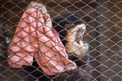 Ο πίθηκος gibbon στο κλουβί χάλυβα Στοκ εικόνα με δικαίωμα ελεύθερης χρήσης