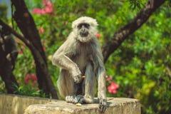Ο πίθηκος Langur κάθεται στο φράκτη Στοκ Φωτογραφίες