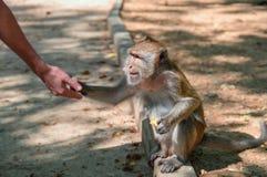 Ο πίθηκος macaques κάθεται στη συγκράτηση από το δρόμο και παίρνει από τα χέρια μιας απόλαυσης Πορτρέτο πλάγιας όψης Στοκ Εικόνες