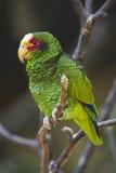ο παπαγάλος κίτρινος Στοκ Φωτογραφίες