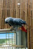 Ο παπαγάλος Jaco κάθεται σε ένα κλουβί Στοκ εικόνα με δικαίωμα ελεύθερης χρήσης