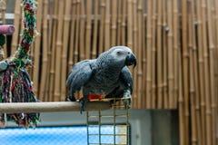 Ο παπαγάλος Jaco κάθεται σε ένα κλουβί Στοκ Εικόνες