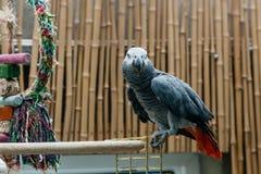 Ο παπαγάλος Jaco κάθεται σε ένα κλουβί Στοκ Φωτογραφία