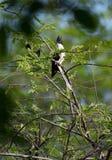 Ο παρδαλός κούκος στοκ φωτογραφία