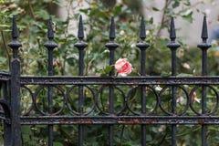 Ο παλαιός σκουριασμένος φράκτης χάλυβα και αυξήθηκε Στοκ φωτογραφία με δικαίωμα ελεύθερης χρήσης
