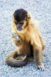 Ο πεινασμένος Capuchin πίθηκος δειπνεί στο έδαφος Στοκ φωτογραφία με δικαίωμα ελεύθερης χρήσης
