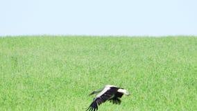 Ο πελαργός πετά στα ύψη και πετά πέρα από τον τομέα απόθεμα βίντεο