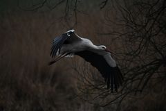 Ο πελαργός πετά χαμηλό, ο πελαργός πετά στη φωλιά του Στοκ φωτογραφία με δικαίωμα ελεύθερης χρήσης
