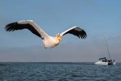 Ο πελεκάνος πετά πέρα από τη θάλασσα στον κόλπο Walvis στοκ εικόνες