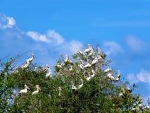 Ο πελεκάνος στο άδυτο πουλιών Prek Toal Siem συγκεντρώνει στοκ φωτογραφία