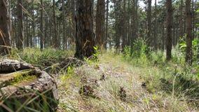 Ο περίπατος στο δάσος στη θερινή ημέρα απόθεμα βίντεο