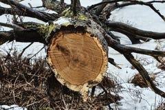 Ο περιορισμένος κορμός δέντρων κατά τη διάρκεια του χειμώνα στοκ εικόνες με δικαίωμα ελεύθερης χρήσης