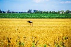 Ο πελαργός περπατά στη χλόη στην αγροτική περιοχή Στοκ Εικόνες