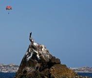 Ο πελεκάνος εσκαρφάλωσε στο βράχο στο λιμάνι Cabo SAN Lucas κοντά στο Los Arcos (τέλος εδαφών) σε Baja Μεξικό με το parasailor (p Στοκ Εικόνες