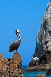 Ο πελεκάνος εσκαρφάλωσε στο λιμάνι Cabo SAN Lucas βράχου Los Arcos (τέλος εδάφους) σε Baja Μεξικό Στοκ φωτογραφία με δικαίωμα ελεύθερης χρήσης