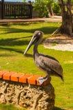 Ο πελεκάνος στο ζωολογικό κήπο Στοκ Εικόνες