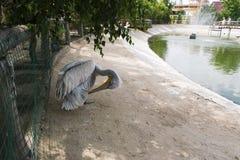 Ο πελεκάνος cheses τα φτερά του στοκ εικόνες με δικαίωμα ελεύθερης χρήσης