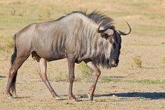 ο πιό wildebeest Στοκ εικόνα με δικαίωμα ελεύθερης χρήσης