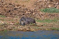 ο πιό wildebeest Στοκ Εικόνες