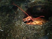 Ο πορτοκαλής αστακός χαλαρώνει σε μια σπηλιά που γίνεται στο βράχο Στοκ φωτογραφία με δικαίωμα ελεύθερης χρήσης