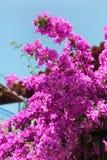 Ο πορφυροί Μπους και μπλε ουρανός λουλουδιών Bougainvillea Στοκ φωτογραφίες με δικαίωμα ελεύθερης χρήσης