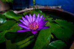 Ο πορφυρός λωτός έχει τις μέλισσες στο λουλούδι λωτού στοκ φωτογραφία