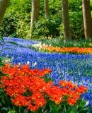 Ο ποταμός των δονούμενων μπλε υάκινθων σταφυλιών muscari και των κόκκινων τουλιπών σε Keukenhof καλλιεργεί, Lisse, νότια Ολλανδία στοκ εικόνες με δικαίωμα ελεύθερης χρήσης