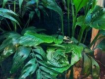 Ο πράσινος βάτραχος Στοκ εικόνα με δικαίωμα ελεύθερης χρήσης
