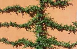 Ο πράσινος κισσός αγκαλιάζει τον τοίχο στοκ εικόνες