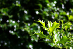 Ο πράσινος κλαδίσκος του ιερού aquifolium θάμνων ilex, μπορεί να είναι χρησιμοποιημένο χειμερινό υπόβαθρο asi Στοκ φωτογραφία με δικαίωμα ελεύθερης χρήσης