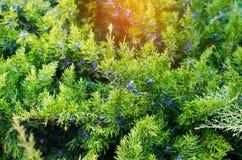 Ο πράσινος νέος ιουνίπερος διακλαδίζεται κοντά επάνω Υπόβαθρο με τον ιουνίπερο β Στοκ Φωτογραφίες