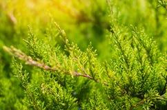 Ο πράσινος νέος ιουνίπερος διακλαδίζεται κοντά επάνω Υπόβαθρο με τους κλάδους ιουνιπέρων ημέρα ηλιόλουστη Ταπετσαρία φύσης Άνοιξη Στοκ εικόνα με δικαίωμα ελεύθερης χρήσης