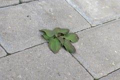 Ο πράσινος νεαρός βλαστός κάνει τον τρόπο του μέσω των πλακών επίστρωσης στοκ εικόνα με δικαίωμα ελεύθερης χρήσης