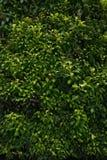 Ο πράσινος τοίχος, φιλικός κάθετος κήπος eco φεύγει backgound στοκ φωτογραφία με δικαίωμα ελεύθερης χρήσης