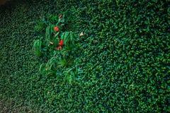 Ο πράσινος τοίχος φυτεύει τη λεπτομέρεια υποβάθρου απομόνωσης για ECO και τη σύγχρονη ξύλινη τεχνολογία σπιτιών Στοκ Φωτογραφία