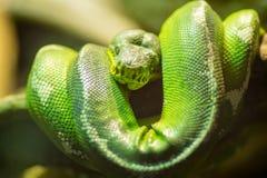Ο πράσινος boa σφιγκτήρας μπορεί να είναι ένα από τα μεγαλύτερα φίδια στον κόσμο Στοκ Εικόνες