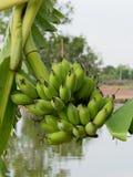 Ο πράσινος unripe Buch των μπανανών στο δέντρο μπανανών στο αγρόκτημα στοκ φωτογραφίες με δικαίωμα ελεύθερης χρήσης